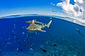'Blacktip reef sharks (Carcharhinus melanopterus) just below the surface off the island of Yap; Yap, Micronesia'