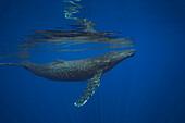 'Humpback whale (Megaptera novaeangliae) underwater; Hawaii, United States of America'