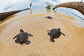 'Three newly hatched baby green sea turtles (Chelonia mydas), an endangered species, makes thier way across the beach to the ocean off the island of Yap; Yap, Micronesia'