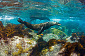 'Young Guadalupe Fur Seal (Arctocephalus townsendi) photographed in the shallows off Guadalupe Island; Guadalupe Island, Mexico'