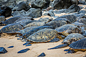 'Green sea turtles (Chelonia mydas), an endangered species, have pulled out of the water onto Ho'okipa Beach; Maui, Hawaii, United States of America'