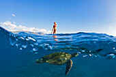 'A green sea turtle (Chelonia mydas) an endangered species, below a surf instructor on a stand-up paddle board; Maui, Hawaii, United States of America'