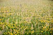 blooming flowers near the Ipf mountain that is a escarpment outlier and former settlement of celtic people, Bopfingen in between Aalen and Noerdlingen, Ostalb district, Swabian Alb, Baden-Wuerttemberg, Germany