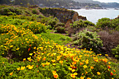 <Point Lobos State Natural Reserve> , Californian Poppy , Pacific Ocean , Southwestern California , California , USA
