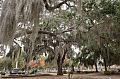 Live oak tree covered with Spanish moss in Old Live Oak Cemetery, Selma, Alabama, USA