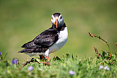 Europe, United Kingdom, Scotland. Puffin