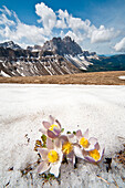 Spring anemones at Col di Poma. In the background the Odle. Funes Valley Dolomites. Trentino Alto Adige. Italy Europe