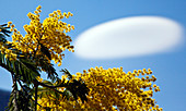 Acacia dealbata (known as silver wattle, blue wattle or mimosa) is a species of Acacia. In the sky a lenticular cloud. Lombardy Italy Europe