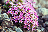 Alpine Rock-Jasmine or Androsace alpina is an alpine plant, endemic to the Alp. In the wild, Androsace alpina grows on silicaceous substrates, particularly granite, and is one of the few plants in the Alps to grow above 3000 metres, Lombardy Italy Europe