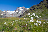 On the road to Passo Confinale in Valmalenco there are a lot of blooming cotton grass (eriophorum), on the background the glaciers and the peaks of the group of Bernina, Lombardy Italy. Europe