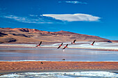 Flamingoes flying over the Laguna Colorada (Red Lagoon), a shallow salt lake in the southwest of the altiplano of Bolivia, within Eduardo Avaroa Andean Fauna National Reserve and close to the border with Chile - Bolivia South Amercia