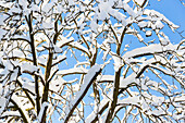 Snow covered branches of a tree, blue sky and winter landscape, fir trees covered with snow, Harz, MR, Sankt Andreasberg, Lower Saxony, Germany