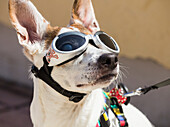 Las Palmas, Gran Canaria, Canary Islands, Spain. Dog wearing UV protection goggles to protect sensitive eyes from strong sunlight.