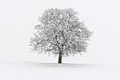 Europe, Italy, Trentino Alto Adige, Non valley. Snow covered tree after a heavy snowfall.
