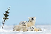 Polar bear mother (Ursus maritimus) with two new born cubs lying down on tundra, looking at camera, Wapusk National Park, Manitoba, Canada.