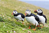 Atlantic Puffin (Fratercula arctica) on the Shetland Islands in Scotland. Europe, northern europe, great britain, scotland, Shetland Islands, June.