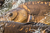Carp, mirror carp, carp pond, close-up eye and gills, Brandenburg, Germany