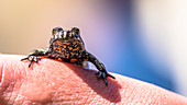 Protected animal species, threatend species, firebellied toad, red bellied eagle sitting on a hand, Linumer bruch, Brandenburg, nature reserve, Oberes Rhinluch, Germany