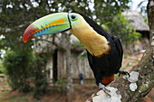 Keel-billed Tucan (toucan) in tree (Ramphastos sulfuratus brevicarinatus) at village of the Native Indian Embera Tribe, Embera Village, Panama. Panama Embera people Indian Village Indigenous Indio indios natives Native americans locals local Parque Nation