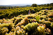France, Vaucluse, Luberon, Goult, Domaine de la Verriere, grape haverst, wine grape