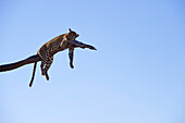 Botswana, North-west district, Chobe National Park, Savuti arid region, leopard