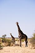 Botswana, North-west district, Chobe National Park, Savuti arid region, giraffe