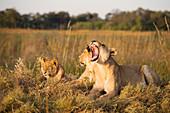 Botswana, North-west district, Chobe National Park, arid region of Savuti, lionesses