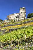 Vineyard by the Rhine underneath Burg Gutenfels castle, near Kaub, Upper Middle Rhine Valley, Rheinland-Palatinate, Germany, Europe