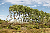 Windflüchter, windschiefe Bäume. Hohes Ufer, Ahrenshoop, Darß, Mecklenburg-Vorpommern, Deutschland