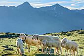 Mehrere Schafe stehen auf Wiese vor Bergkulisse, Obergurgl, Ötztaler Alpen, Tirol, Österreich