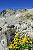 Gamswurz mit Bergkulisse im Hintergrund, Adamello-Presanella-Gruppe, Trentino, Italien