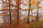 Beech forest in fog, Eifel, Rhineland-Palatinate, Germany