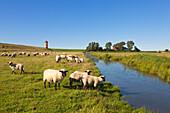 Sheep on the dike, Pilsum lighthouse, near Greetsiel, East Friesland, Lower Saxony, Germany