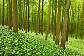 Flourishing wild garlic, beech grove, Hainich national park, Thuringia, Germany