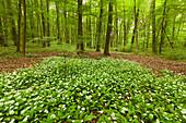 Hiking trail trail though flourishing wild garlic, Hainich national park, Thuringia, Germany