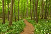 Hiking trail through flourishing wild garlic, Hainich national park, Thuringia, Germany