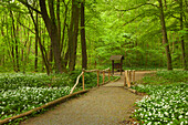 Hilikg trail though flourishing wild garlic, Hainich national park, Thuringia, Germany