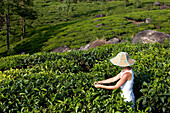 India, Kerala State, Munnar, in the tea plantations, a specialist checks the quality of the leafs