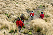 Ecuador, Chimborazo Province, Andes, Chimborazo volcano, taking down the blocks of ice on donkey's back through the altitude toundra that the Hieleros sell on the markets of the valley
