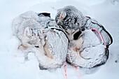 Schweden, Grafschaft Norrbotten, Lappland, Abisko, Wanderweg Kungsleden, Schlittenhund, Siberian Husky