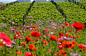 France, Gironde, Salleboeuf, Bordeaux vineyard and Entre Deux Mers, Spring flowers, poppies (papaver rhoeas of Papaveracea family ) and Pasque flower (also called Dane's Blood or Pulsatilla vulgaris of Ranunculaceae family) in a vine fallow to support int