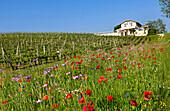 France, Gironde, Salleboeuf, Bordeaux vineyard and Entre Deux Mers, Chateau Pey Latour, vine and fallow of the Bordeaux Country Club-Dourthe Estate, Dourthe CVBG vineyards, AOC Bordeaux Superior