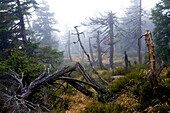 Spruce forest at Brocken, Harz National Park, Saxony-Anhalt, Germany