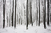 Beech forest in snow, Meissner - Kaufunger Wald nature park, North Hesse, Hesse, Germany