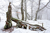 Beech forest in snow, Rhoen Biosphere Reserve, Bavarian Rhoen Nature Park, Bavaria, Germany