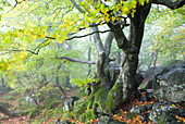 Old oak, Rhoen Biosphere Reserve, Bavarian Rhoen Nature Park, Bavaria, Germany
