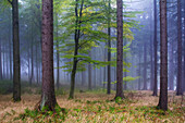 Beech, Thuringian Forest Nature Park, Thuringia, Germany