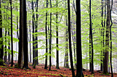 Beech forest in springtime, Spessart Nature Park, Lower Franconia, Bavaria, Germany
