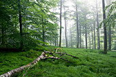 Beech forest, Fuerstlich Lowwensteinscher Park, Spessart Nature Park, Lower Franconia, Bavaria, Germany
