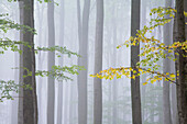 Beech forest, Meissner - Kaufunger Wald nature park, North Hesse, Hesse, Germany